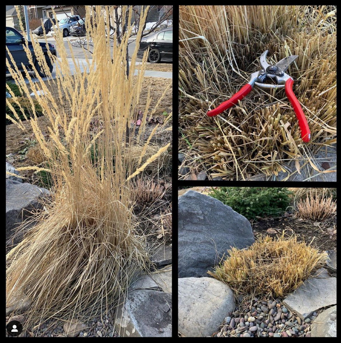 Feather Reed Grass maintenance